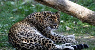 Un leopard a ucis un călugăr budist care medita în India