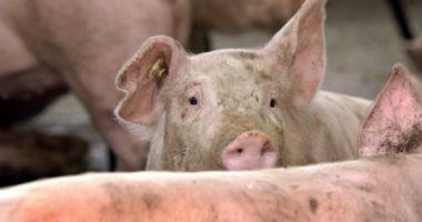 Alertă: Pesta porcină, confirmată pe teritoriul României