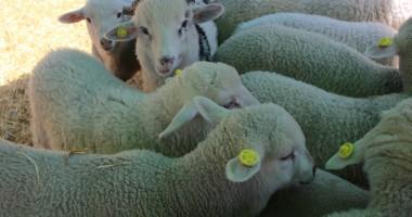 România ar putea relua exporturile de ovine în Turcia începând cu 15 noiembrie