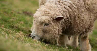 O nouă perioadă de depunere a cererilor de sprijin pentru crescătorii de ovine şi caprine