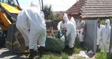 ANSVSA: Numărul localităților afectate de pesta porcină africană a ajuns la 266