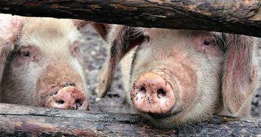 Stare de urgență la granița României. Autoritățile din Bulgaria în alertă din cauza pestei porcine africane