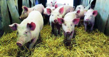 Focare de pestă porcină în 10 localități din Constanța.