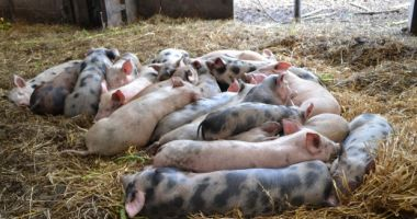Ponta: Pro România susţine înfiinţarea unei comisii parlamentare privind pesta porcină