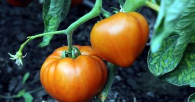Plăţi pentru cultivatorii de tomate