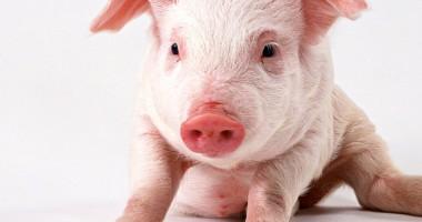 Belgia organizează campionatul de imitat grohăituri de porc