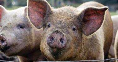 Bulgaria a raportat primul caz de pestă porcină, într-o gospodărie din apropierea graniţei cu România