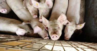ANSVSA: Pesta porcină a fost confirmată în al 15-lea județ - Dolj
