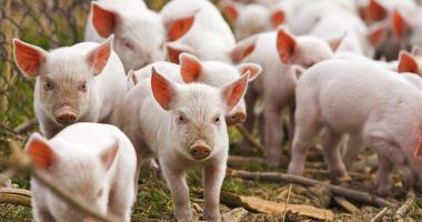 Pesta porcină, confirmată în 25 de localităţi din judeţul Constanţa!