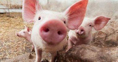 Pestă porcină în două ferme. Peste 12.000 de porci vor fi omorâți