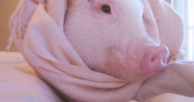 """""""Povestea porcului"""" se joacă  în Ţara Piticilor"""