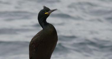 Premieră la malul mării. Cormoranii moţaţi pe litoralul românesc