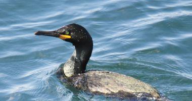 Cuib inedit la malul mării. Cormorani moţaţi, în Portul Constanţa