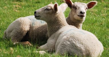 România exportă 800.000 de ovine în Iran