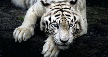 Îngrijitor de la o grădină zoologică, sfâșiat de un exemplar rar de tigru alb