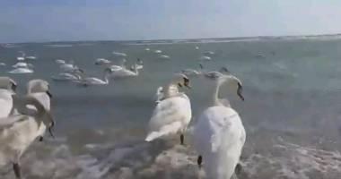 VIDEO. Cum se distrează lebedele, pe plaja din Eforie Sud