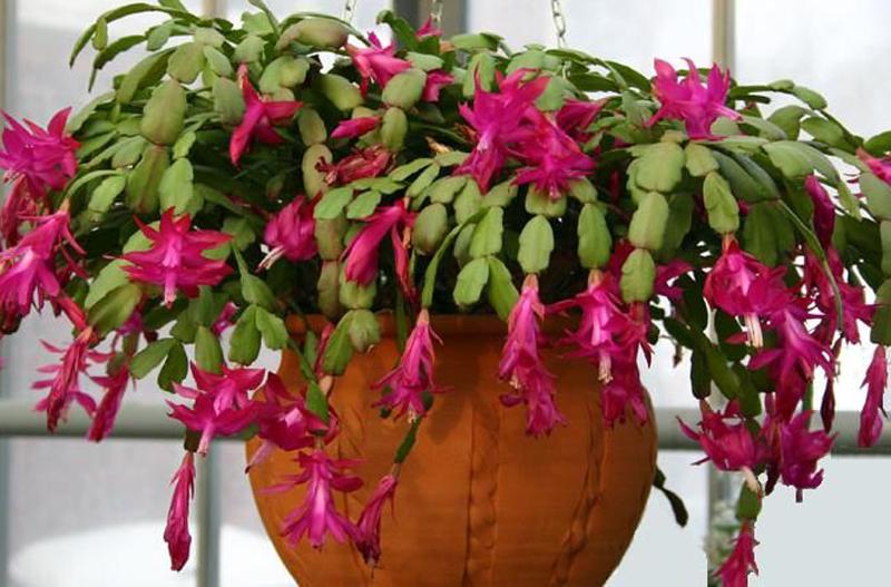 Plante de interior care nfloresc iarna ziarul cuget for Plante de interior